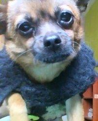 Busco Novio Para Mi Perrita Chihuahua Chincha Alta Avisos Y Anuncios Clasificados Gratis En Perú